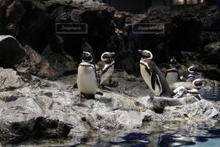 岩の上に立っているペンギンの写真・画像素材[2105427]