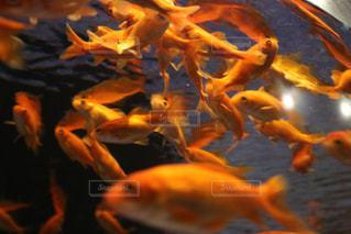 金魚の写真・画像素材[2105443]