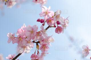 桜アップの写真・画像素材[1119936]