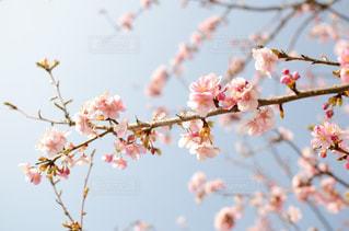 桜と空の写真・画像素材[1119937]