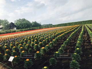 黄色の花のグループの写真・画像素材[869565]
