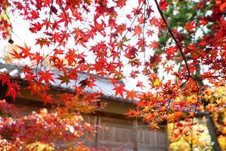 木の赤い花の写真・画像素材[869465]