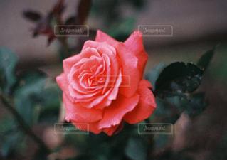 薔薇 - No.871268