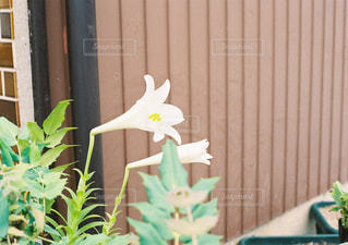 白い花の写真・画像素材[871327]