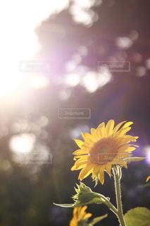 向日葵の写真・画像素材[869695]