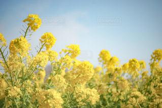 菜の花の写真・画像素材[1038057]