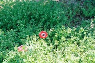 赤い花の写真・画像素材[1103883]