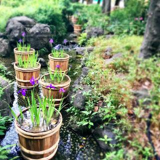 菖蒲が美しい庭園の写真・画像素材[490545]