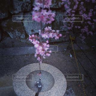 桜の花と蛇口の写真・画像素材[870480]