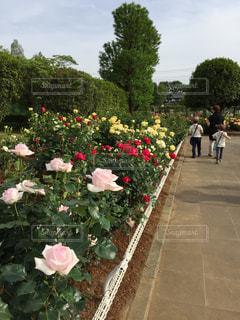 薔薇園を散策 - No.874730