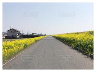 菜の花ロードの写真・画像素材[874738]