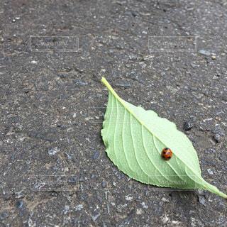 幸せを呼ぶてんとう虫の写真・画像素材[871455]