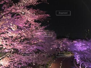 ピンクの夜桜の写真・画像素材[1827103]