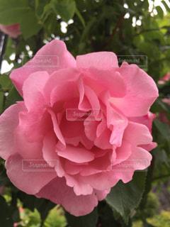 庭の薔薇 - No.877610