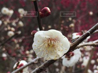 梅の花 - No.894559