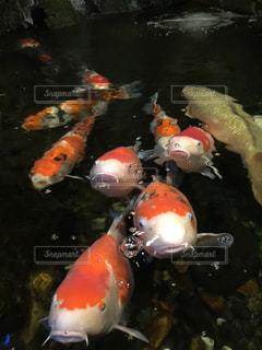 大きな鯉の写真・画像素材[899814]