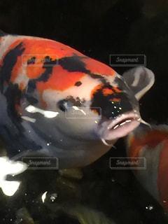 怖い鯉の写真・画像素材[1101300]