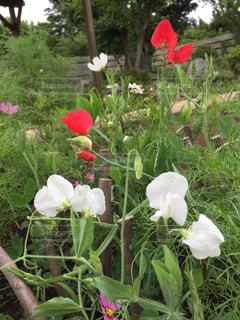 庭の赤い花の写真・画像素材[1211518]