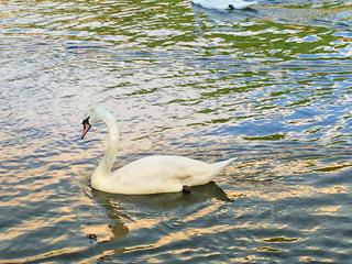 水体で泳ぐ白鳥の写真・画像素材[1270291]