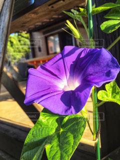 植物の紫色の花の写真・画像素材[1291477]