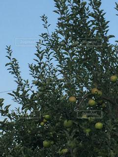 たわわに実るりんごの写真・画像素材[1370162]