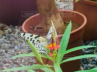 蝶々‼️の写真・画像素材[1632981]