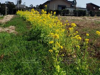 フィールド内の黄色の花の写真・画像素材[1873094]