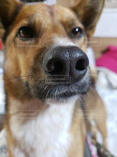 カメラを見ている犬のクローズアップの写真・画像素材[2223738]