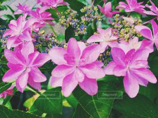 植物のピンクの花の写真・画像素材[2224339]