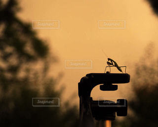 夕焼けの中のカマキリの写真・画像素材[2357656]