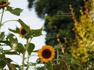 夏の花の写真・画像素材[2396854]