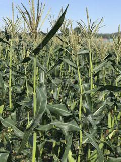 トウモロコシの畑の風景の写真・画像素材[873214]