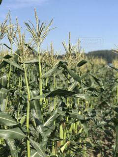 トウモロコシの畑の風景の写真・画像素材[873243]