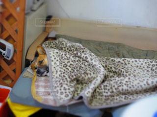 毛布にくるまるコーギーの写真・画像素材[873121]