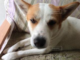 ベッドの上で横になっている茶色と白犬の写真・画像素材[873125]