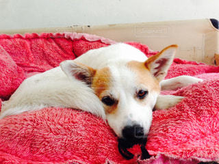 赤い毛布の上に横たわる犬の写真・画像素材[873137]