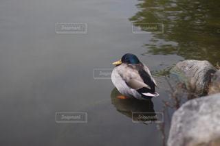 鴨の写真・画像素材[1005262]