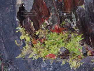 木と苔の写真・画像素材[879264]