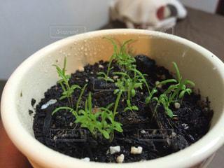 家庭菜園〜カモミールの写真・画像素材[874528]