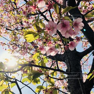 桜の木からの木漏れ日の写真・画像素材[1064694]
