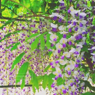藤の花の写真・画像素材[875988]