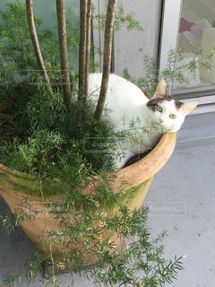 灰色と白猫が植物に座っての写真・画像素材[877597]