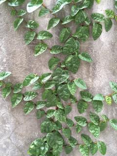 壁に這う葉の写真・画像素材[877601]
