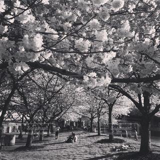 木の黒と白の写真の写真・画像素材[878061]