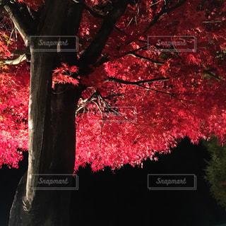 紅葉ライトアップの写真・画像素材[877432]