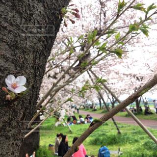 お花見 - No.1106998