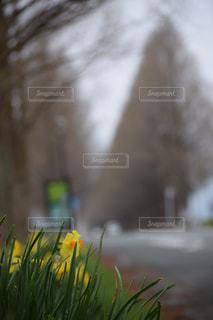 メタセコイア並木の春の写真・画像素材[898539]