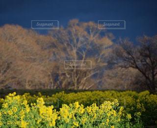 菜の花の写真・画像素材[900759]