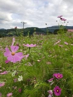 畑の中のピンクの花の写真・画像素材[3376759]