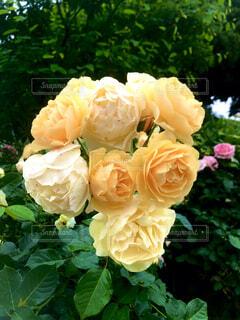 薔薇No1の写真・画像素材[4858306]